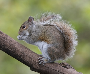 squirrel (300x249)